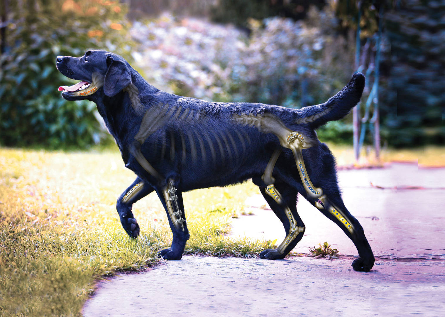 Black lab with bones and implants super imposed over the top