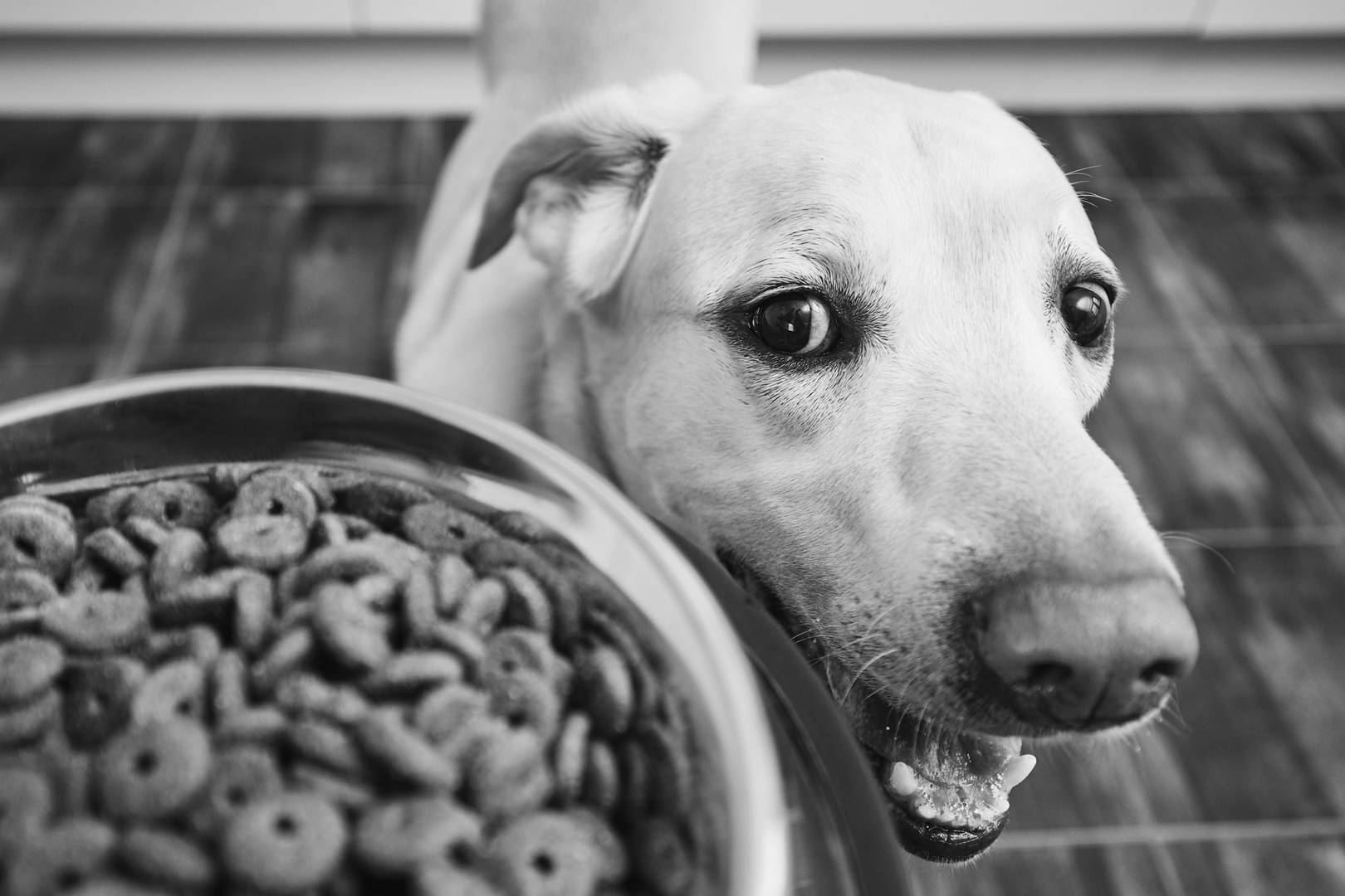 Dog looking at dog food in dog dish